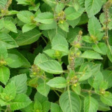 Holy Tulsi Basil Essential Oil
