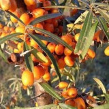 Sea Buckthorn Berry CO2 Extract